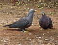Columba arquatrix, by kleilek, p, Pretoria.jpg