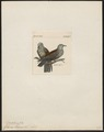 Columba hodgsonii - 1820-1860 - Print - Iconographia Zoologica - Special Collections University of Amsterdam - UBA01 IZ15600167.tif