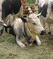 Comice agricole Revel abc16 Vosgienne (race bovine).jpg