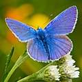 Common Blue (Polyommatus icarus).jpg