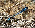 Common Bluet. Enallagma cyathigerum (38293914264).jpg