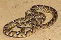 Common Cat Snake( Boiga trigonata).jpg