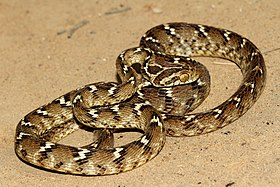 Common Cat Snake( Boiga trigonata).jpg