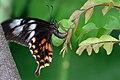 Common Mormon - Papilio polytes.jpg