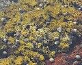 Common Periwinkles (Littorina littorea) on Seaweed - Nesodden, Norway 2020-09-20 (02).jpg