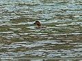 Common Pochard (Aythya ferina) (23270559872).jpg