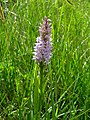Common Spotted Orchid - geograph.org.uk - 471119.jpg
