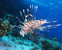 Common lionfish at Shaab El Erg reef (landscape crop).JPG
