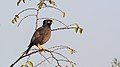 Common myna at IIT Delhi.jpg