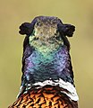 Common pheasant - Fazant - Phasianus colchicus.jpg