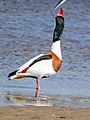 Common shelduck modelling (38632756400).jpg