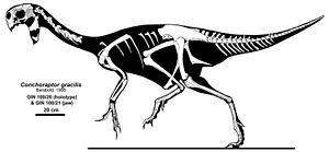 Conchoraptor - Skeletal restoration