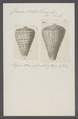 Conus betulinus - - Print - Iconographia Zoologica - Special Collections University of Amsterdam - UBAINV0274 086 03 0009.tif
