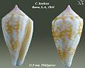 Conus boeticus 2.jpg
