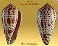 Conus lynceus 1.jpg