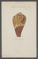 Conus vexillum - - Print - Iconographia Zoologica - Special Collections University of Amsterdam - UBAINV0274 086 08 0005.tif