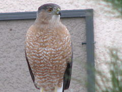 Coopers hawk adult 01.JPG