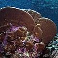 Coralline algae on undersides of coral (36684179951).jpg
