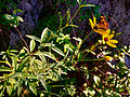 Coreopsis tripteris - Tall Tickseed.jpg