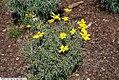 Coreopsis verticillata Zagreb 12zz.jpg