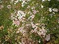 Coriandrum sativum 2c.JPG