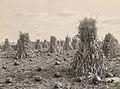 Corn stalks and pumpkins, 1908 - 16501921962.jpg