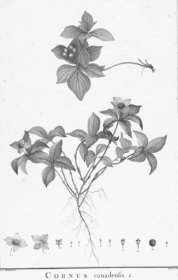 Kanadischer Hartriegel (Cornus canadensis), Illustration