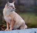 Corsac Fox 1 (6785199523).jpg