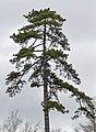 Corsican Pine Pinus nigra laricio Top.JPG