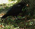 Corvus corone mit einer Walnuss 04.JPG