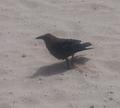 Corvus ruficollis (Boa Vista, Cape Verde).png