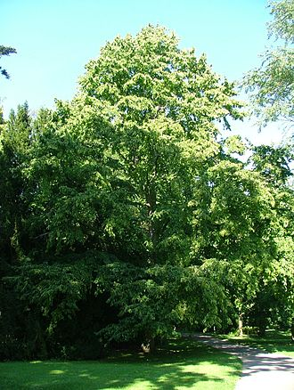 Hazelnut - Corylus colurna, Turkey