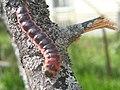 Cossus cossus (larva) - Goat moth (caterpillar) - Древоточец пахучий (гусеница) (40812379751).jpg