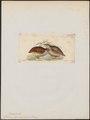 Coturnix argoondah - 1820-1863 - Print - Iconographia Zoologica - Special Collections University of Amsterdam - UBA01 IZ17100139.tif