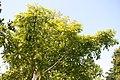 Couroupita guianensis 19zz.jpg