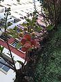 Couroupita guianensis in Singapore.jpg