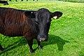 Cow (27132691016).jpg