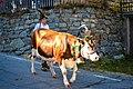 Cow Almabtrieb (179224025).jpeg