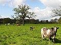 Cows and Calves, Wasing Estate Aldermaston - geograph.org.uk - 5896.jpg