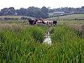 Cows near Boreham Bridge - geograph.org.uk - 1372277.jpg