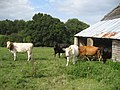 Cows near Netter's Hall, Attwaters Lane - geograph.org.uk - 332759.jpg