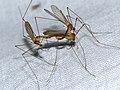 Crane Flies (Tipulidae) mating - Flickr - berniedup.jpg