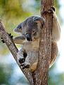 Creating habitat for Koalas (8069422606).jpg