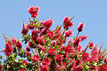 Crimson Bottlebrush - Callistemon citrinus 2.jpg