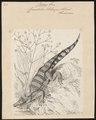 Crocodilus sclerops - 1700-1880 - Print - Iconographia Zoologica - Special Collections University of Amsterdam - UBA01 IZ12200029.tif
