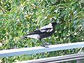 Cropped Aussie magpie on verandah.jpg