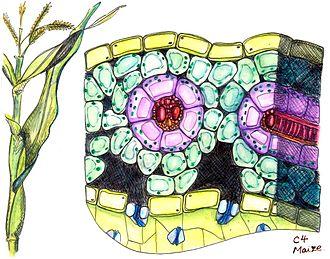 C4 carbon fixation - Image: Cross section of maize, a C4 plant