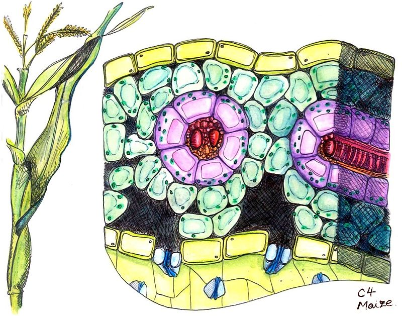 Cross section of maize, a C4 plant..jpg