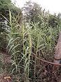 Crow Bamboo (2).jpg
