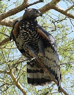 Aquilinae Subfamily of birds